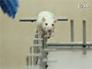 Asymmetric Walkway: A Novel Behavioral Assay for Studying Asymmetric Locomotion thumbnail