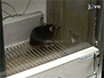 Quantifying Social Motivation in Mice Using Operant Conditioning thumbnail