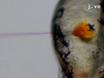 Descifrar e imagen Patogénesis y Cording de<em&gt; Abscessus Mycobacterium</em&gt; En embriones de pez cebra thumbnail