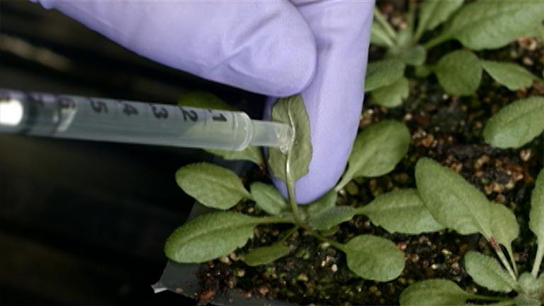 Bacterial Leaf Infiltration Assay for Fine Characterization of Plant Defense Responses using the <em>Arabidopsis thaliana-Pseudomonas syringae</em> Pathosystem thumbnail