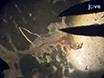 Isolierung und Kanülierung von Cerebral Parenchymale Arteriolen thumbnail