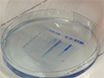 <em>In Vitro</em> Disassembly of Influenza A Virus Capsids by Gradient Centrifugation thumbnail