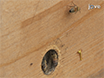 A Push-pull Protocol to Reduce Colonization of Bird Nest Boxes by Honey Bees thumbnail