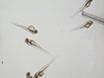 Nephrotoxin Microinjection in Zebrafish to Model Acute Kidney Injury thumbnail
