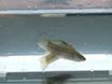 试验以检测紫外线反射结构,并使用茉莉花鳉确定其重要性伴侣偏好<em&gt;孔雀鱼latipinna</em thumbnail