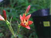 Field Experiments of Pollination Ecology: The Case of <em>Lycoris sanguinea</em> var. <em>sanguinea</em> thumbnail