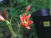 Field Experiments of Pollination Ecology: The Case of <em>Lycoris sanguinea</em> var. <em>sanguinea</em> thumbnail