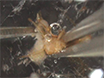 A Simple One-step Dissection Protocol for Whole-mount Preparation of Adult <em>Drosophila</em> Brains thumbnail