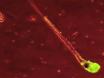 Expression ciblée de la GFP dans le follicule pileux ex vivo utilisant transduction virale thumbnail