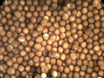 Obtaining Eggs from Xenopus laevis Females thumbnail